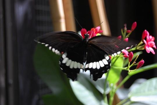 Fluturi danseaza - Butterfly Dance