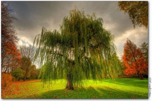 Weeping-Willow-during-the-fall-in-Germany