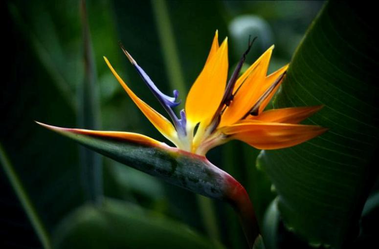 bird-of-paradise-flower-sandra-lafaut (1)